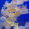 Spotted Lagoon Jelly kaufen