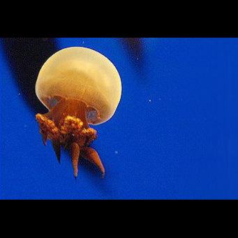 Flame Jellyfish