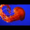 Quallen - Black sea nettle (Chrysaora achlyos)