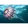 Quallen - Purple striped sea nettle (Chrysaora colarata)