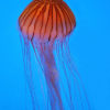 Quallen - JAPANESE SEA NETTLE (CHRYSAORA PACIFICA)