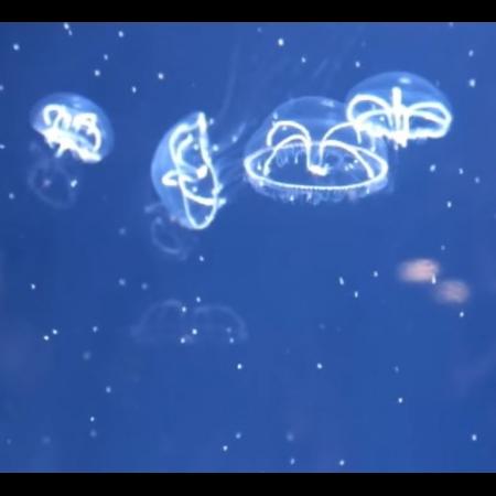 Eirene Lactoide Quallen